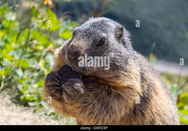 wild-alpine-marmot-marmota-marmota-eatin