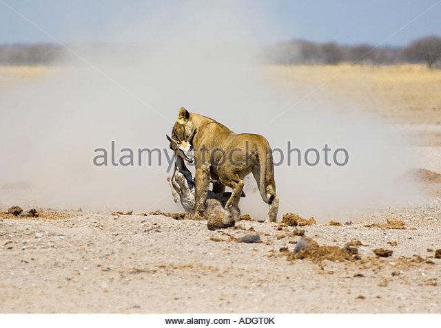 African Lion vs Nile Crocodile Fight Comparison