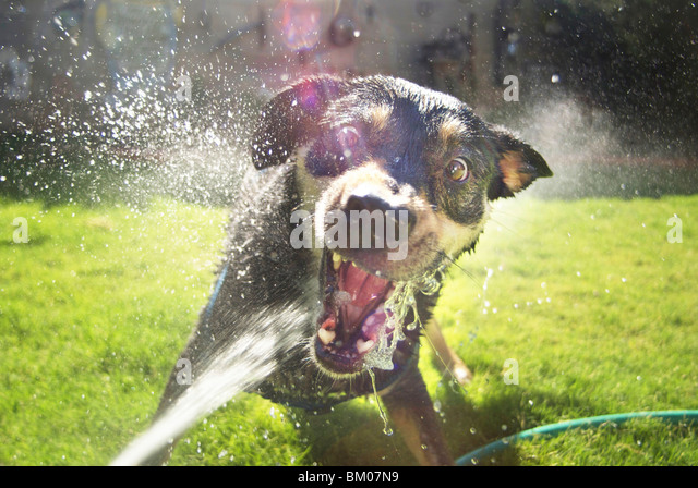 Dog attacking water hose in backyard fun vicious an wide eyed bearing teeth with spray flying everywhere albuquerque - Stock Image
