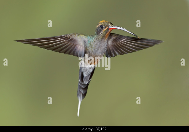 Green Hermit (Phaethornis guy) feeding at a flower while flying at the Wildsumaco reserve in eastern Ecuador. - Stock Image