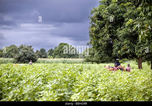 workers-on-the-kolanjeba-organic-cotton-