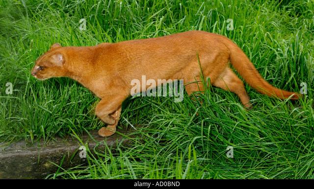Jaguarundi Herpailurus yaguarundi Central and Tropical South America Captive Red colour phase - Stock Image