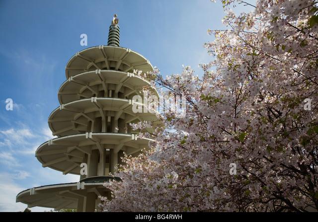 japanese-sakura-cherry-blossom-trees-in-