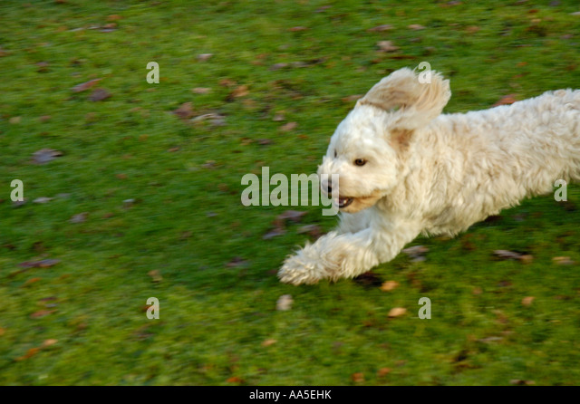 small-white-terrier-running-into-frame-f