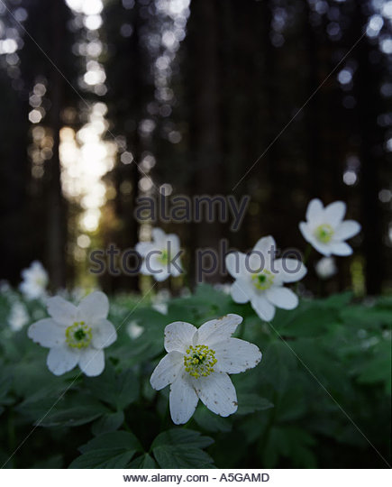 Wood anemone, Sweden - Stock Image