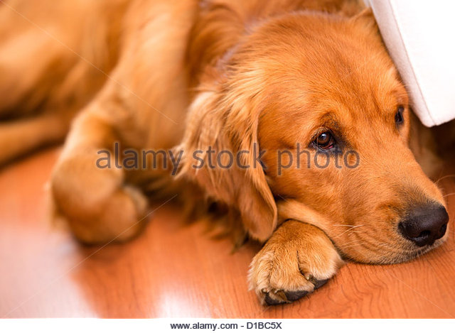 Beautiful dog at home looking very bored - Stock Image