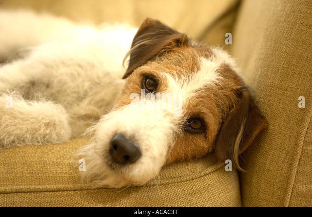 dog on sofa - Stock Image