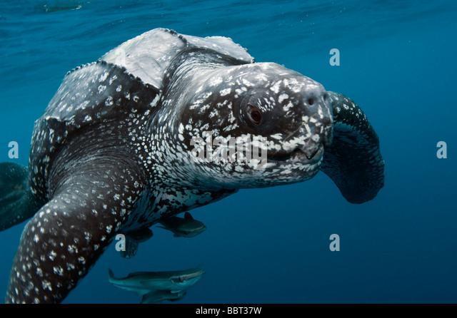 Leatherback sea turtles swimming