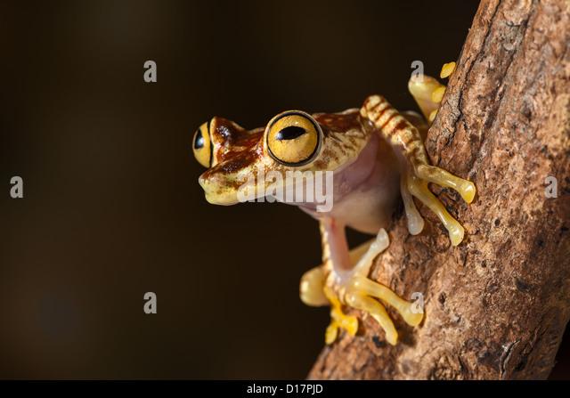 Zebra forest treefrog
