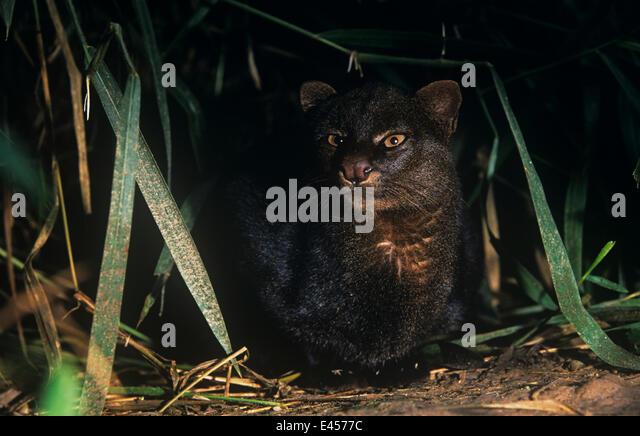 Jaguarundi {Felis yagouaroundi} in rainforest, Amazonia, Ecuador - Stock Image