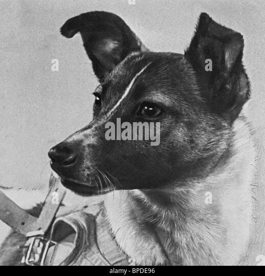 Soviet space dog Laika - Stock Image