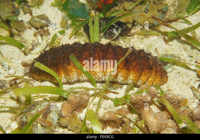 an in depth description of the sea cucumber and its ecosystem 10 endangered sea cucumbers and their conservation ocean with 0 to 10 m depth this sea cucumbers can reach its length up to ecosystem, plant, sea cucumbers.