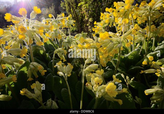 primla-veris-cowslip-flowers-wales-uk-dd