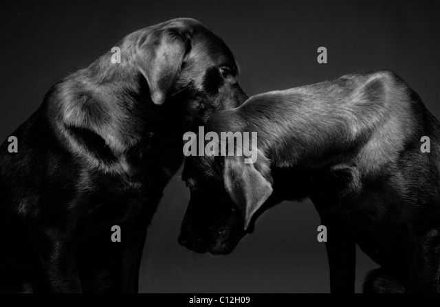 A portrait of two black labs against a black background. - Stock Image