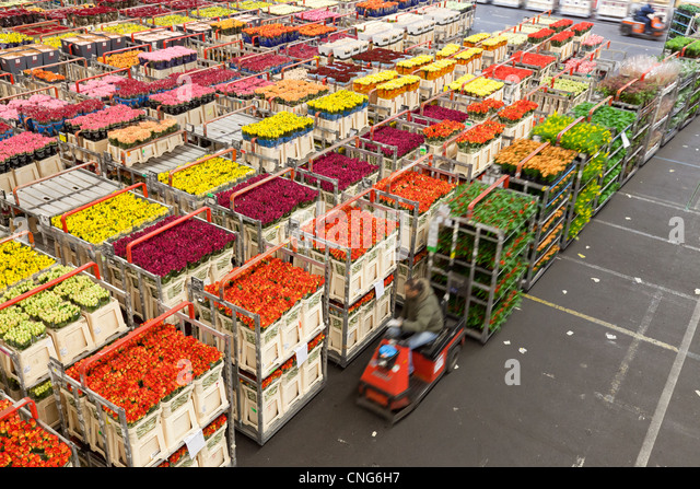 united flower auctions aalsmeer holland Answer 1 of 6: i have been trying to find the best directions for how to get to the aalsmeer flower auction their website is not very clear we will be taking public transportation and our plan is to arrive by 7:00am when they open.