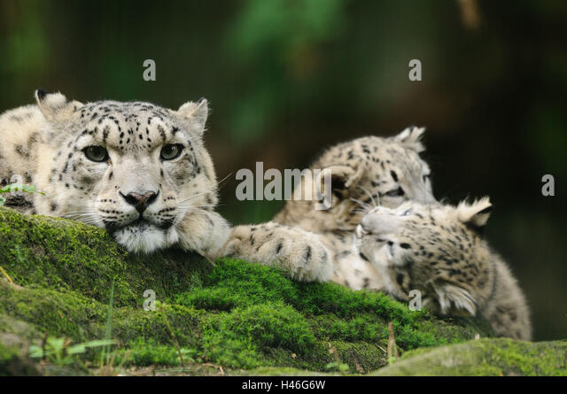 Images of baby snow leopards