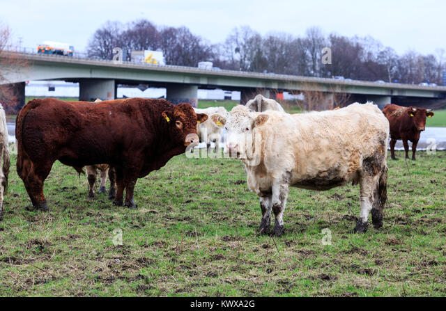 cattle-on-a-pasture-in-winter-autobahn-a