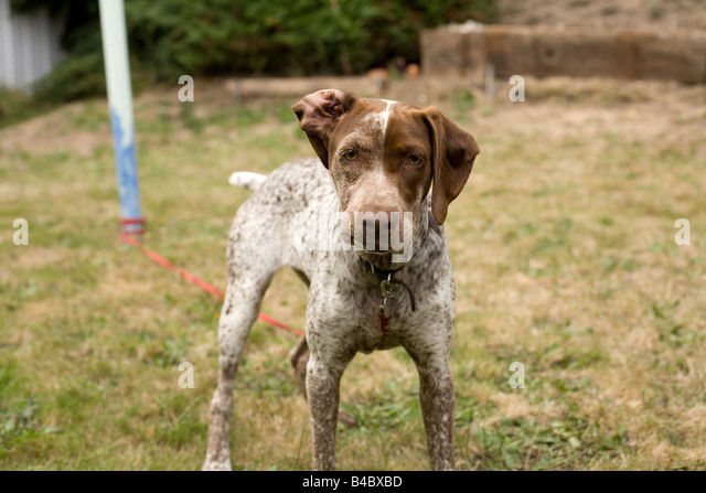 young French pointer looking angry - Stock Image