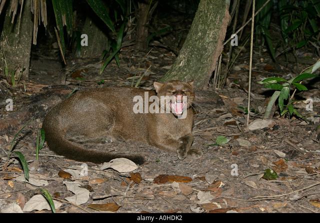 JAGUARUNDI Herpailurus yaguarondi In Belize - Stock Image