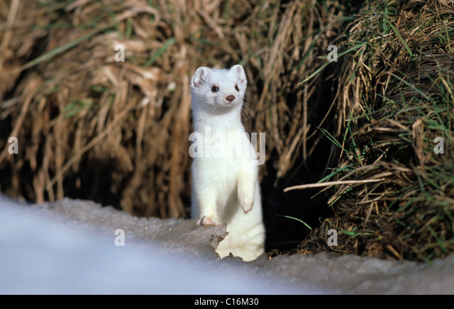 ermine-stoat-or-short-tailed-weasel-must