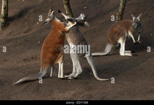 Red kangaroo fight