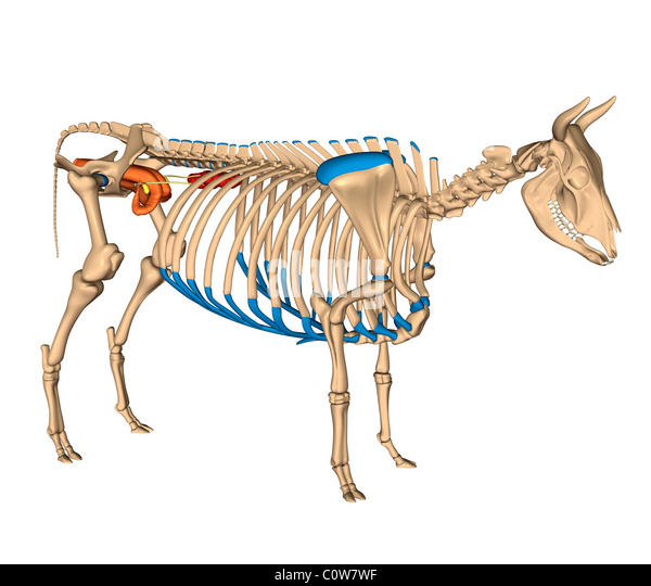 The Anatomy Of A Cow 4114500 Follow4morefo