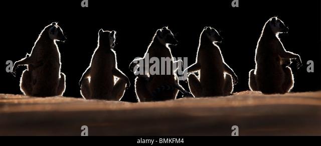 Ring-tailed Lemurs sun basking at dawn, Berenty Private Reserve, southern Madagascar - Stock Image