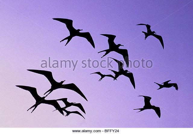 Magnificent frigate birds in flight, Fregata magnificens, Belize - Stock Image