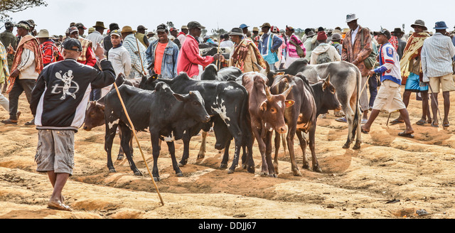 Antemoro farmers with their bullocks at the Wednesday Zebu cattle market in Ambalavao, Haute Matsiatra; largest cattle market in Madagascar. - Stock Image