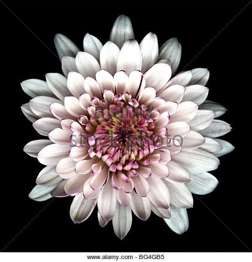 closeup-macro-image-of-a-chrysanthemum-f