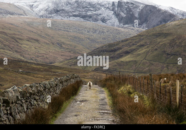 a-solitary-sheep-walks-towards-the-camer