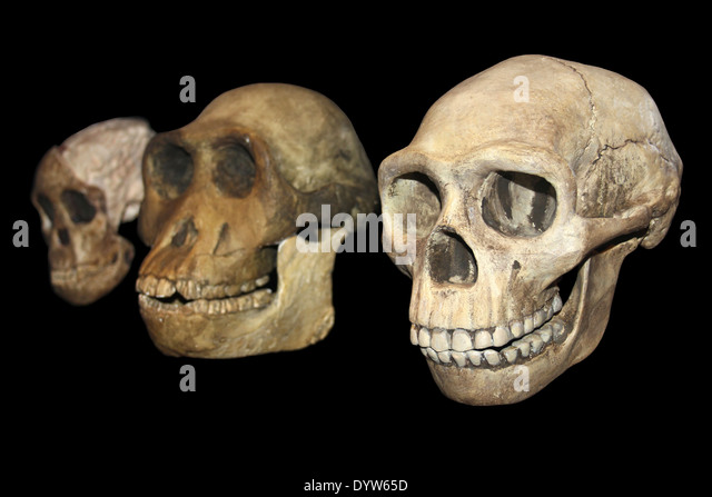 Human Evolution left to right: Taung Child Australopithecus africanus,  Australopithecus afarensis, Homo erectus - Stock Image