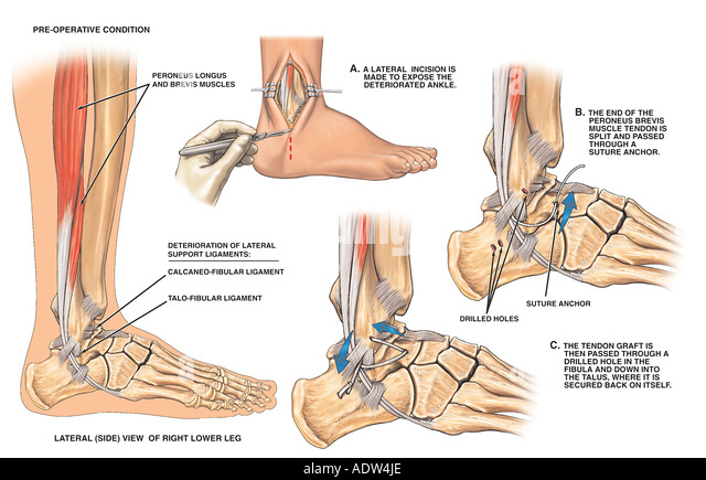 Anatomy of ankle and lower leg