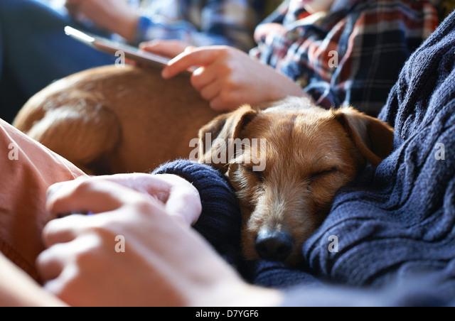 Dog sleeping on owners' laps - Stock Image