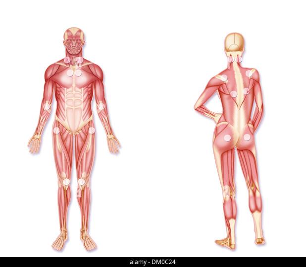 Female Human Anatomy Back Digitalspacefo