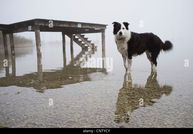 Dog wading in still lake - Stock Image