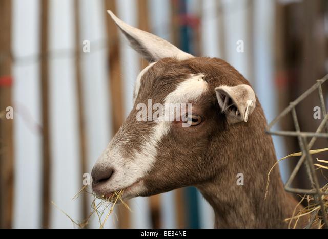 British Toggenburg goat eating hay. Westmorland County Show 2009. - Stock Image