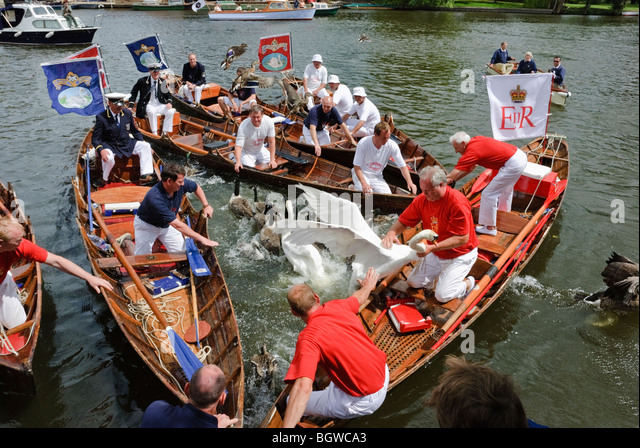 the-annual-swan-upping-ceremony-at-henle