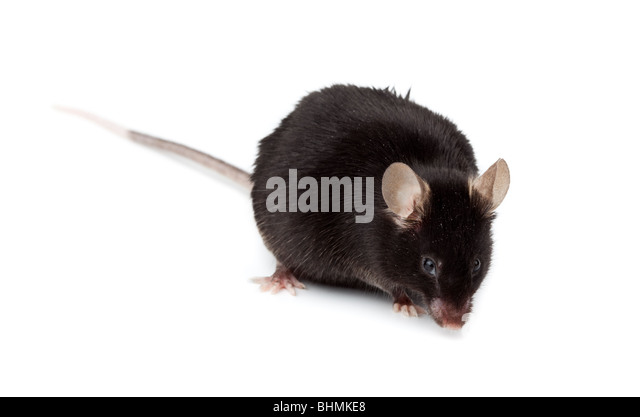 fancy-black-mouse-in-studio-against-a-wh