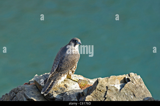 juvenile-peregrine-falcon-at-rest-standi