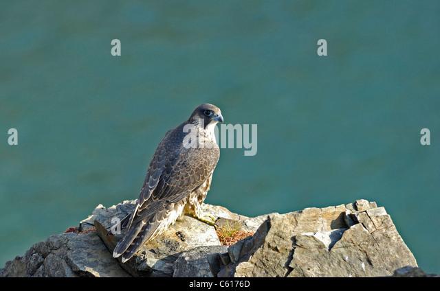 juvenile-peregrine-falcon-at-rest-standi