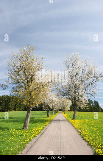 flowering-cherry-trees-under-clouded-sky