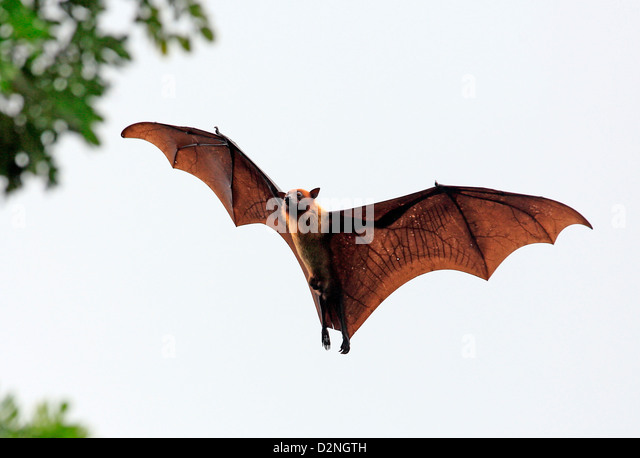 Fruit bat (flying fox) in Tissamaharama, Sri Lanka. - Stock Image