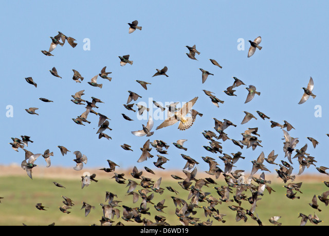 starling-flock-being-attacked-by-merlin-