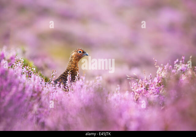 red-grouse-lagopus-lagopus-scoticus-on-h