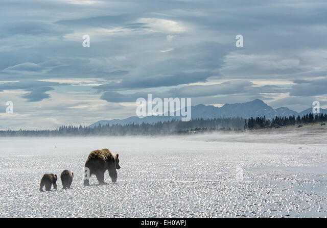 grizzly-bear-mother-leading-two-spring-c