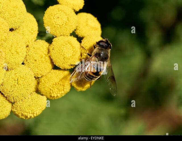 drone-fly-eristalis-tenax-feeding-on-com