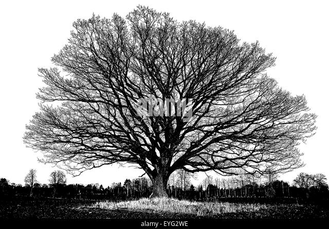big-old-oak-tree-with-winter-leafless-br