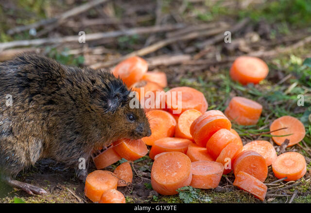 young-european-water-vole-a-semi-aquatic