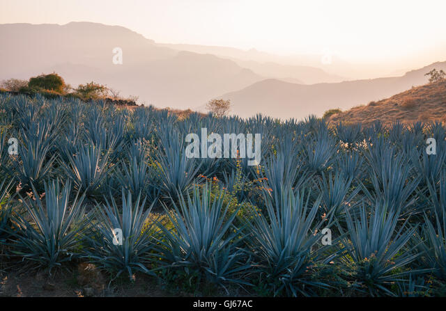 blue-agave-fields-near-tequila-jalisco-m